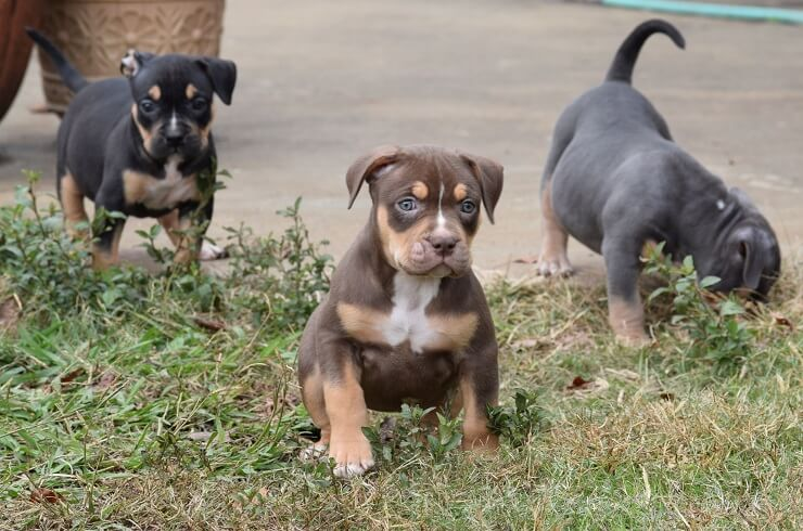 pit bul lpuppies for sale jackson tn