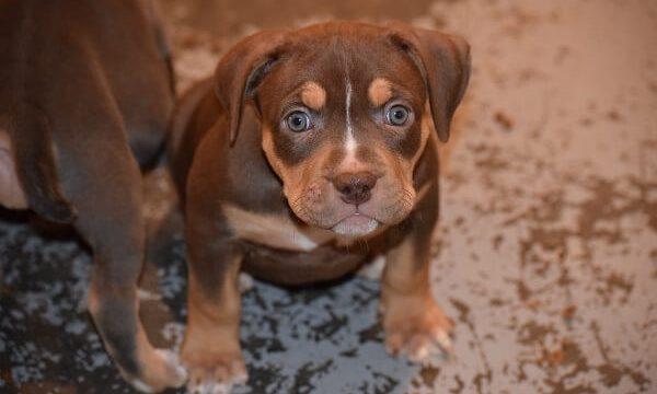puppyforsale
